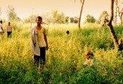 הודו אישרה לראשונה גידול המפ חוקי