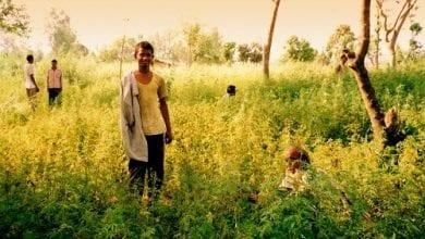 Photo of הודו אישרה לראשונה גידול המפ חוקי