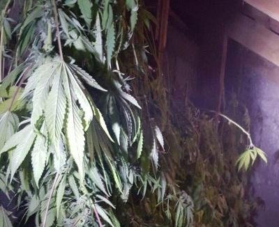 בדירה נמצאו גם צמחי קנאביס בתהליך ייבוש