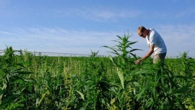 Hemp ​​Field en Colorado, EE. UU., De donde produce aceite HEMP