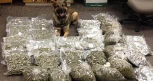 כלב משטרה לאחר תפיסת מריחואנה גדולה