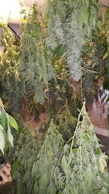צמחי קנאביס שנתפסו בדירה במעלות תרשיחא (14.12.15)