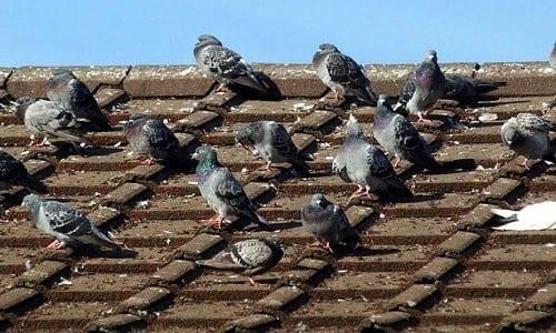 יונים על גג מחסן לגידול קנאביס שנחשף