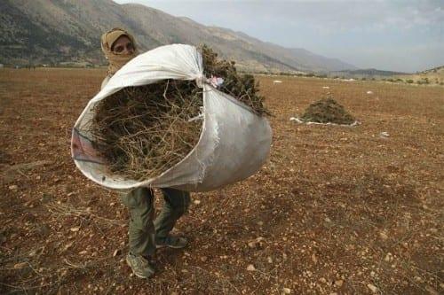 פליטים סורים מגדלים גראס בלבנון