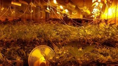 Photo of מאות צמחי קנאביס נתפסו במחסן בפתח תקווה