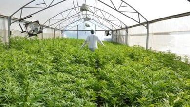 חממה לגידול צמחי קנאביס, כמה קנאביס ניתן לצרוך בחודש