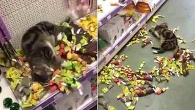 חתול פרץ לחנות כדי לאכול קטניפ
