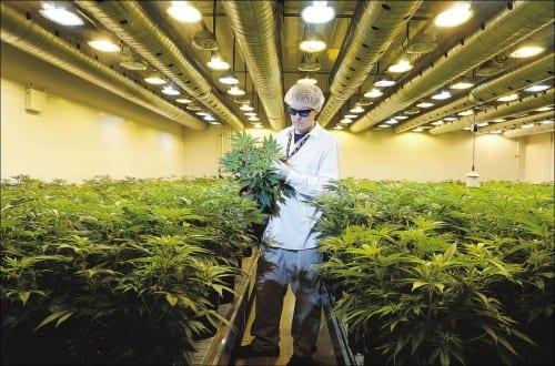 אדם לבוש בבגדים סטריליים בוחן צמחי קנאביס באמצע חממת גידול