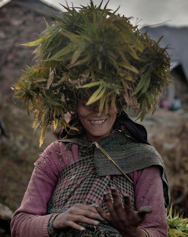 עלי הקנאביס משמשים את החקלאים להגנה מפני השמש במהלך שעות העבודה הרבות