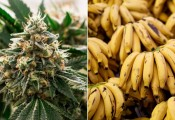 בקריביים רוצים להחליף את עסקי הבננות בקנאביס