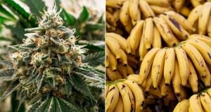 בננות צהובות קנאביס