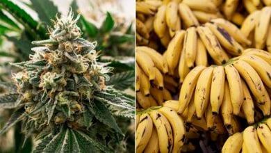 Photo of בקריביים רוצים להחליף את עסקי הבננות בקנאביס