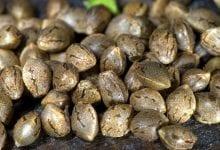 Photo of זרעי קנאביס נקביים – רקע