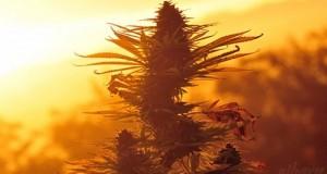 Het begin van moderne cannabis
