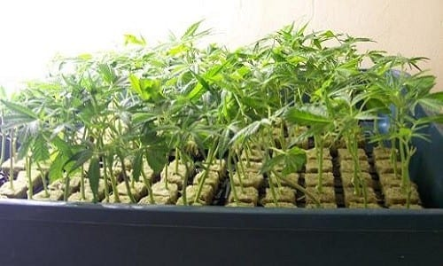 ייחורים - שימור הגנטיקה של צמחי הקנאביס שלנו