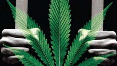 אבסורד הקנאביס - צמחים מאחורי חומות