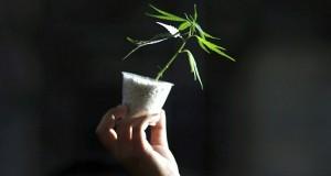 צמח קנאביס קטן