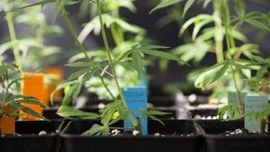 Photo of ממשלת קנדה אישרה: חולים יגדלו קנאביס בבית