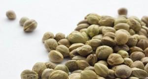 זרעי קנאביס