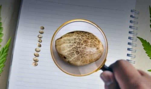 זרעיי קנאביס תחת זכוכית מגדלת