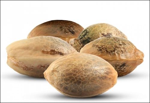 פמיניזציה: איך לייצר זרעים נקביים של קנאביס