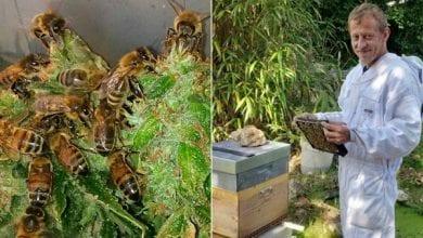 Photo of לא, דבורים לא יכולות לייצר דבש מקנאביס