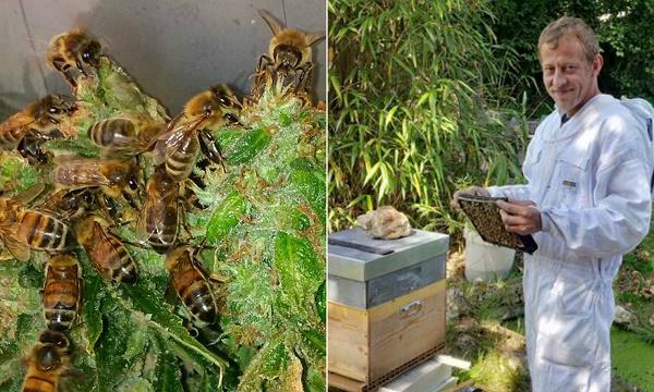 דבש דבורים מקנאביס?