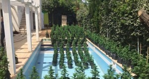 Seedlings caught outside the villa and inside the pool Photo: Police Spokesperson