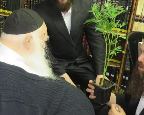 הרב קניבסקי: קנאביס רפואי כשר לפסח לאוכלי קטניות