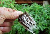 מדריך לקיחת ייחורים: 18 טיפים לשכפול מוצלח של צמח קנאביס
