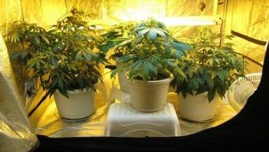 Photo of העונש על גידול 5 צמחי קנאביס בבית: עבודות גינון