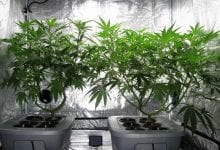 Two cannabis plants in a growth tent
