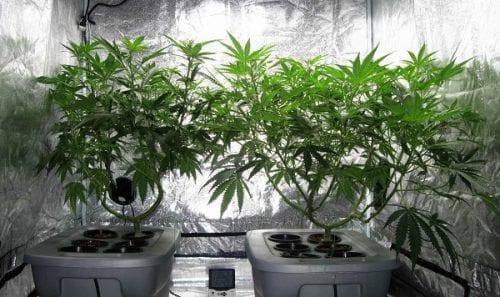 שני צמחי קנאביס באוהל גידול