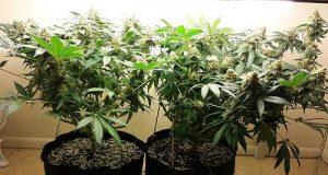 צמח קנאביס הגדלים בתוך בית
