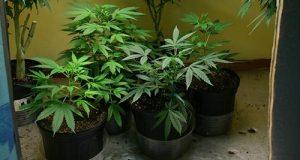 4 צמחי קנאביס שנתפסו בתוך דירת גידול