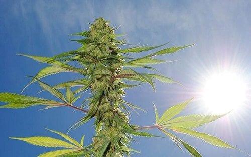 צמח קנאביס תחת השמש
