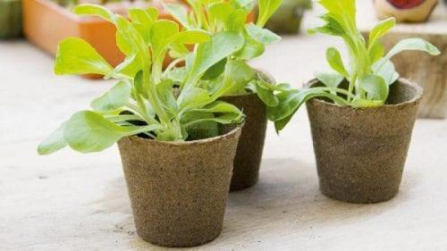 עציץ מתכלה - מקור תזונה נוסף לשורשי הצמח