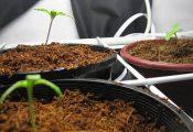 למתחילים: 4 שיטות טובות להנבטת זרעי קנאביס