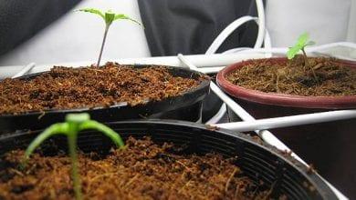 איך להנביט זרעי קנאביס