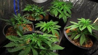Photo of סופר פארם לא מצליחה למכור קנאביס – חולים מגדלים את הצמח בביתם