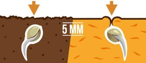 שתילת זרעי קנאביס באדמה
