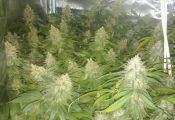 שתי בנות 30 נעצרו: גידלו צמחי קנאביס בבית
