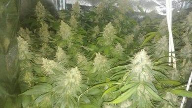 צמחי קנאביס נתפסו בנתניה - שתי בנות נעצרו