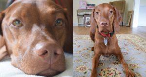 פינלי, כלבה שטופלה בחטיפי CBD נגד חרדת נטישה ובעיות התנהגות