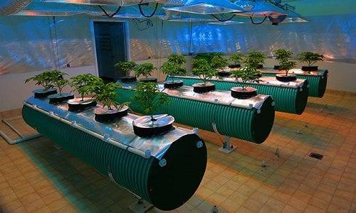 """צמחי קנאביס בגידול הידרו - עדיף בטמפרטורה של בין 15 ל-22 מעלות צלסיוס (מתוך: """"14 טיפים שיעזרו לכם לגדל הידרו בקלות"""")"""