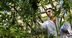 מחקר קנאביס בקולורדו, חוקר שקיבל מענקי מחקרבתוך חממת גידול