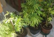 קנס כספי לחולה שגידל 28 צמחי קנאביס בביתו