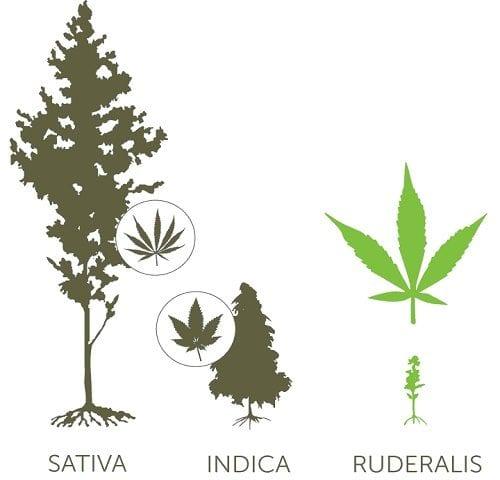 רודרליס, אינדיקה, סאטיבה - מבנה חיצוני וצורת עלים כללית | תמונה: Leafly