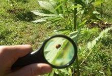 Cannabis en insecten