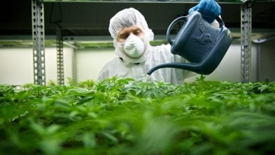 Pesticides and medical cannabis